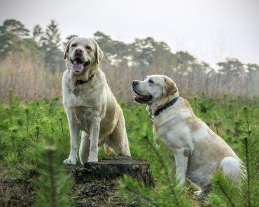 Två hundar på en åker